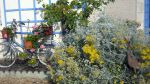 "Dusty Miller with our ""flower bike"""