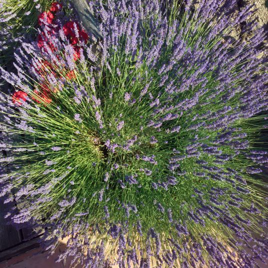 A starburst or rather a lavenburst.  A lavender plant here at le Clos des Guyons